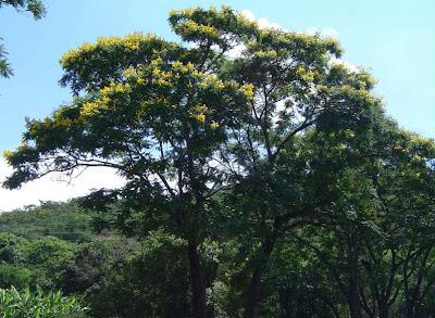 ivira pita Peltophorum dubium