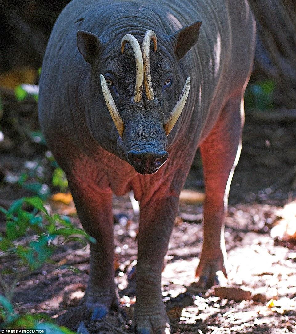 نوع مهدد بالإنقراض وذلك بسبب أكل لحمه من قبل السكان المحليين