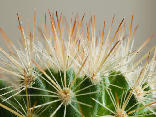 Espinas  en el caso de los cactus aparecen por tranformacion de las