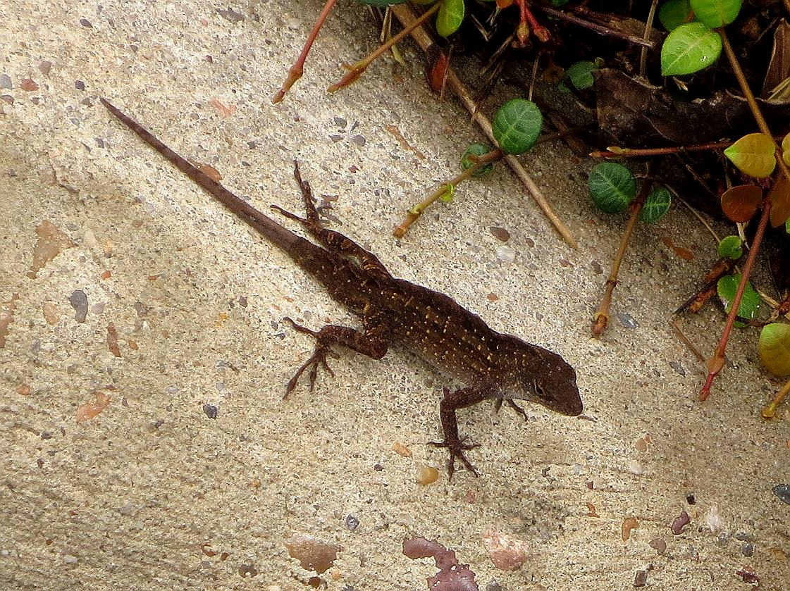 Tropical Texana: NEW LIZARD FROM CUBA IS ON THE WAY TO YOUR SOUTHERN ...