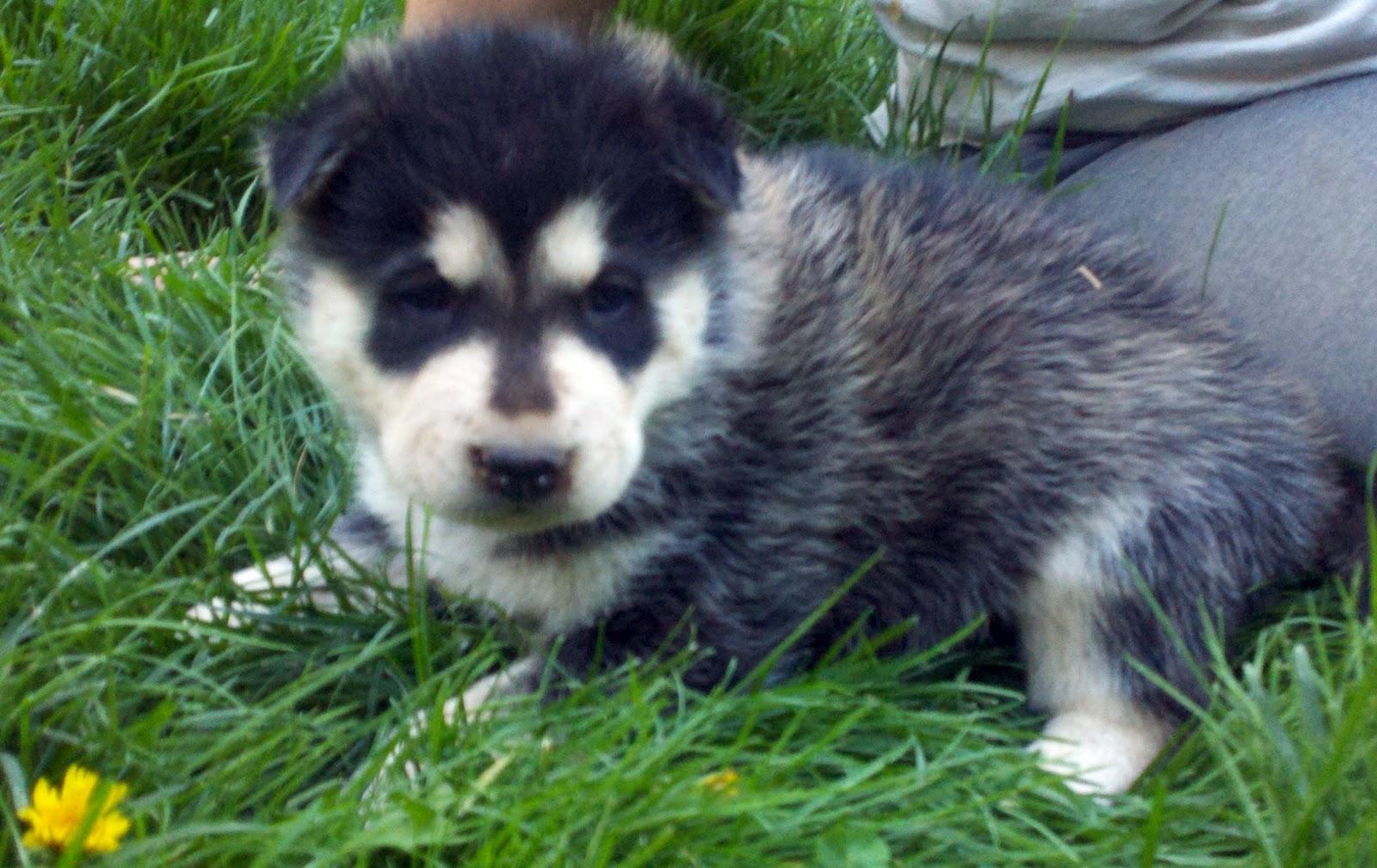 Shika Puppy 3 - Female - Wolf Hybrid Puppy for sale