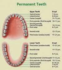 erupsi gigi permanen