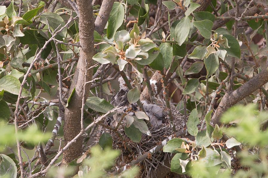 Shikra nest