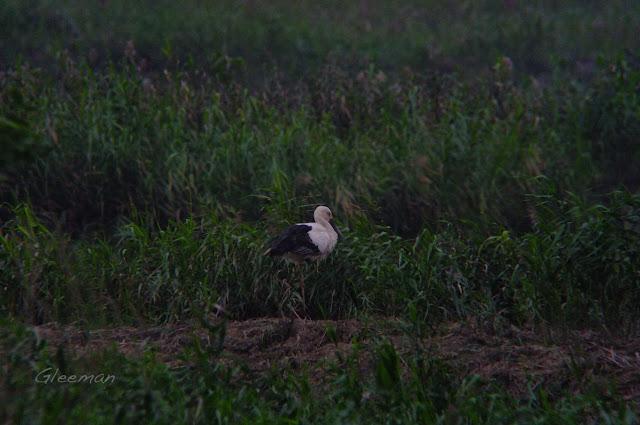 送子鳥於關渡自然公園