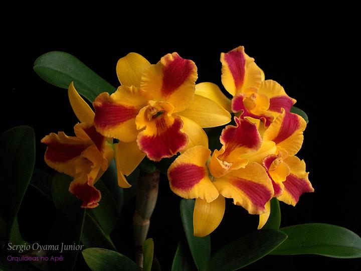 Orquídea Potinara Burana Beauty 'Burana'