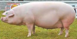 Вес свиньи через ее обмер
