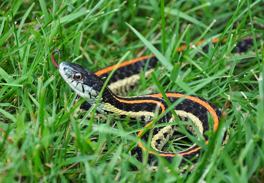 Chicken Tales! ~ An Egg-Eating Snake!   Community Chickens