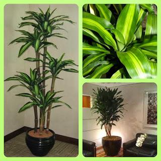 Plantas para dentro de casa - Dracena pau-d'água