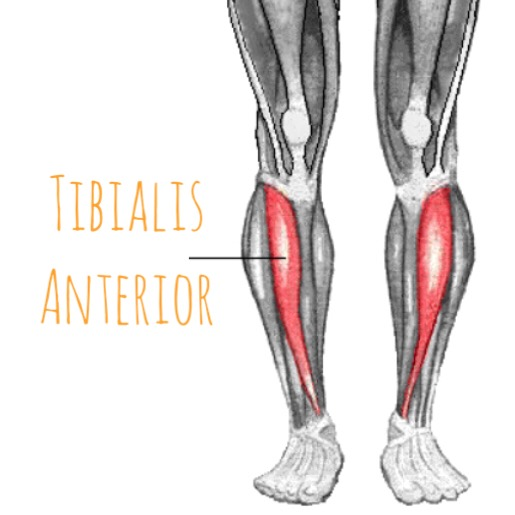 the hip joint: tibialis anterior - of the anterior lower leg, Human Body