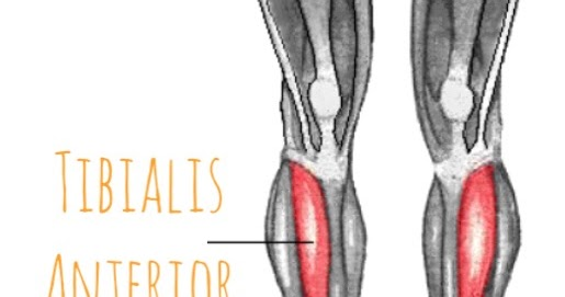 The Hip Joint Tibialis Anterior Of The Anterior Lower Leg