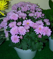 How to Care For Potted Chrysanthemum
