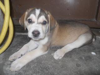 Ημίαιμο αρσενικό πανέξυπνο σκυλάκι περίπου 2.50 μηνών βρέθηκε βρέθηκε εγκατειλημένο και ζητά άμεση υιοθεσία