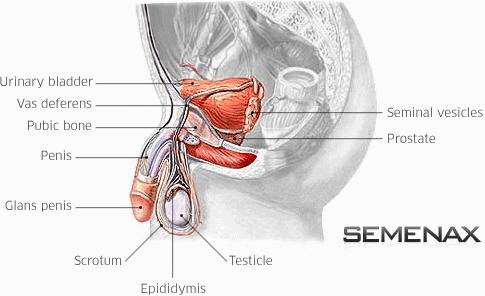 semenax, obat semenax, penyubur sperma, penambah sperma, meningkatkan sperma, pengental sperma, meningkatkan kualitas sperma
