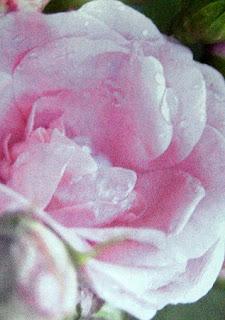 Como Hacer Locion de Rosas, Recetas Caseras, Plantas Aromaticas y Tonicas para el Cuerpo