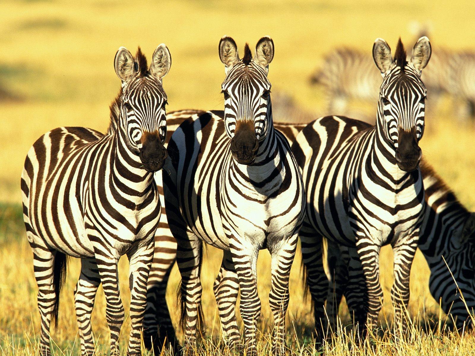 http://2.bp.blogspot.com/-rPEM1Ton4vQ/T6lMhwtBnjI/AAAAAAAAeFs/0m--c4qz_h0/s1600/three_zebra_1600x1200.jpg