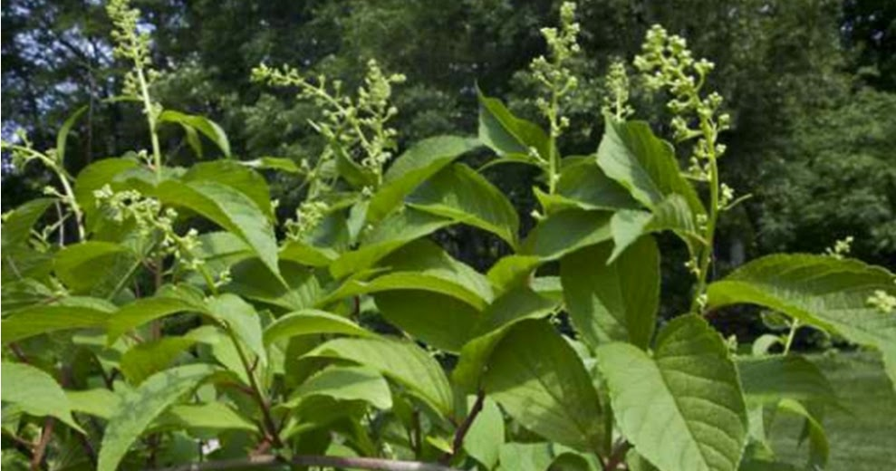 Thunder God Vine: Uses, Side Effects, Interactions, Dosage ...