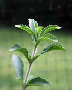 Stevia Plant