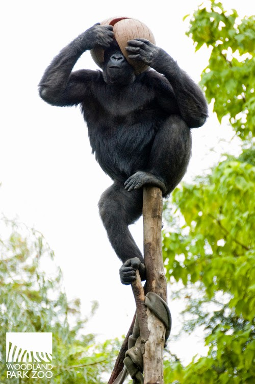 gorilla dating We think we can all relate to this this right there is jelani who is quite obviously  a gorilla, but he looks like any one of us on a dating app.