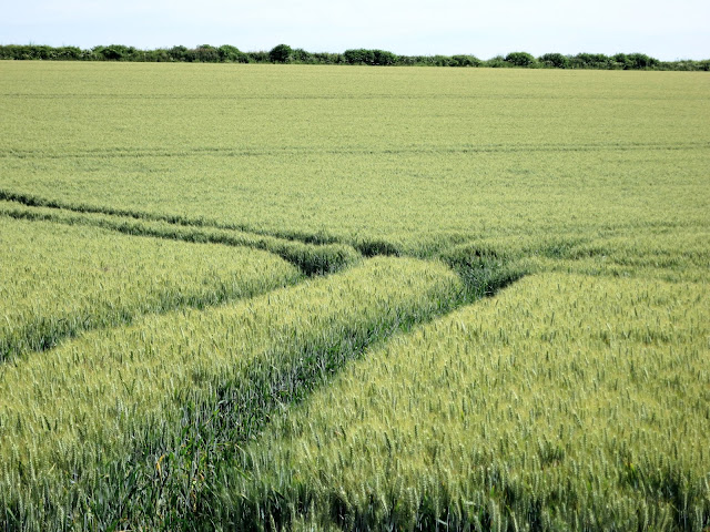 Wheat field with lines where wheels have been. Hedgerow with trees beyond.