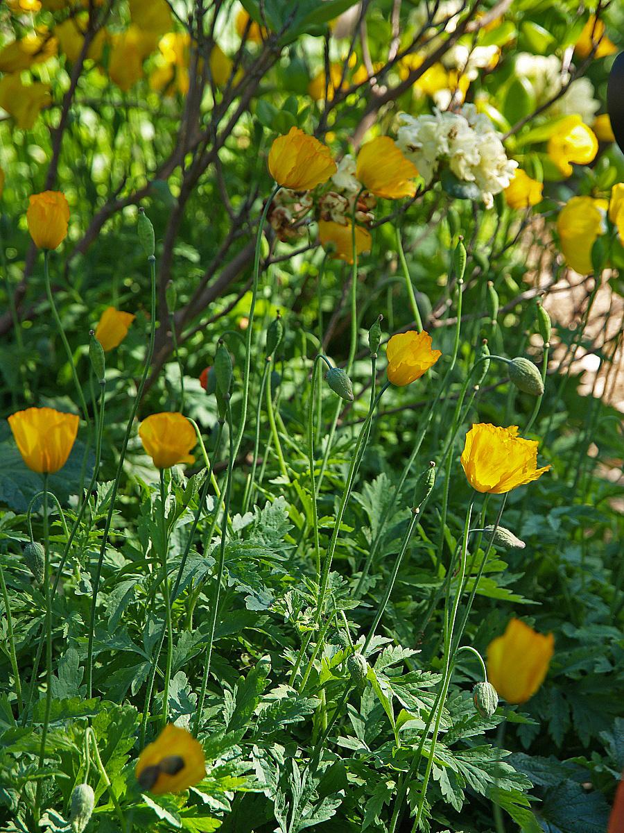 Glädjekällans trädgårdsblogg: gul vallmo i massor