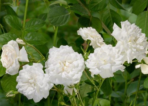 Swany rose сорт розы фото