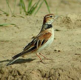Burung Pai Ling-Keunggulan dan Kelemahan Pai Ling-Manakan Yang Di Butuhkan-Pai Ling.Burung Pai Ling berasal dari Cina, dalam bahasa lain biasa di sebut Calandra Lark/ Melanocorypha Calandra. kiauan trecetan panjangnya sangat bagus. Selain trecetan yang panjang, suaranya juga cukup keras dan sangat disukai parakicaumania. Burung Pai Ling selain baik untuk dikonteskan, juga bisa digunakan sebagai pemasteran suara burung lain seperti toet, hwa mei, dan murai batu, Benruk fisik tubuhnya berukuran lumayan besar seprti burung puyuh   Manakan Yang Di Butuhkan Jenis serangga, kelabang kecil, dan luwing   Keunggulan Pai Ling Ketika berkicau selalu mengepakkan sayapnya yang panjang. KIcaunya bergulung-gulung terdengar merdu   Kelemahan Pai Ling Kondisi fisik maupun mentalnya mudah drop. Warnanya terlihat sedikit kurang menarik. Untuk membuatnya berkicau diperluakan waktu yang yang cukup kama