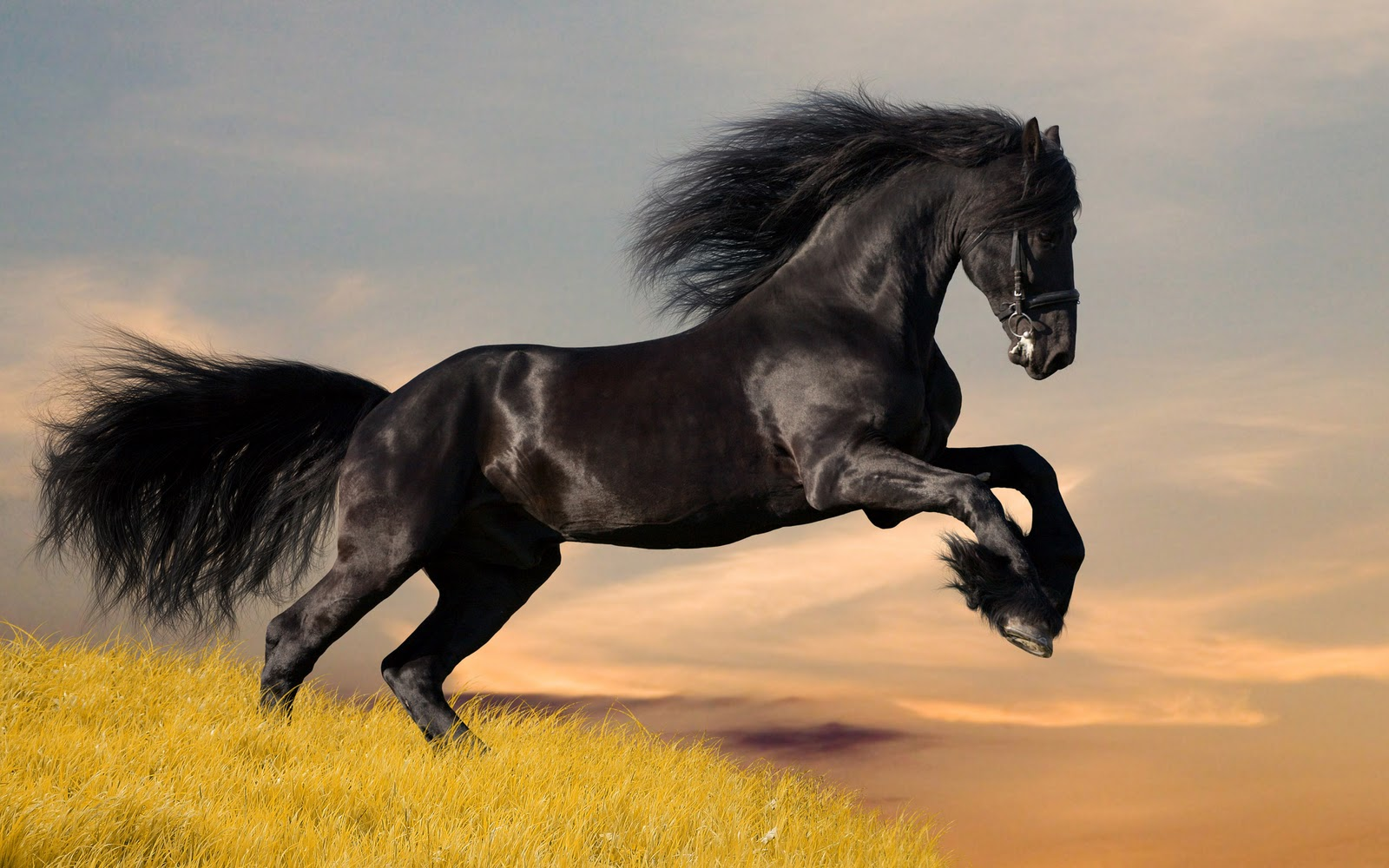 beautiful black wild horses running wallpaper beautiful black wild