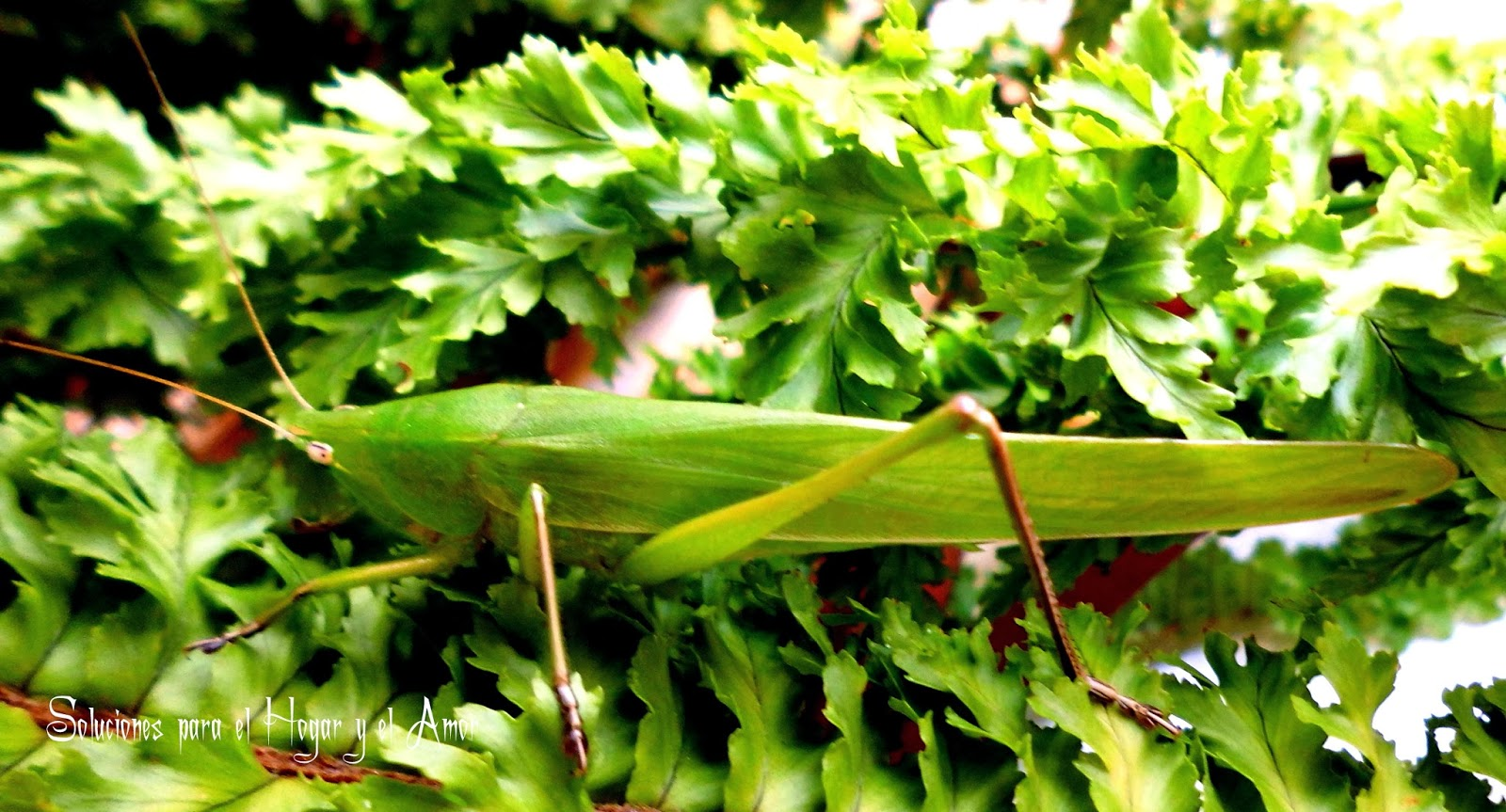 Tettigonia viridissima, Saltamontes verde