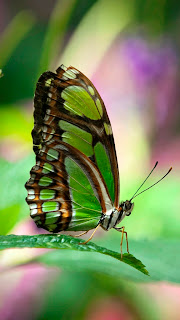 HD Green Butterfly Wallpapers for iPhone 5