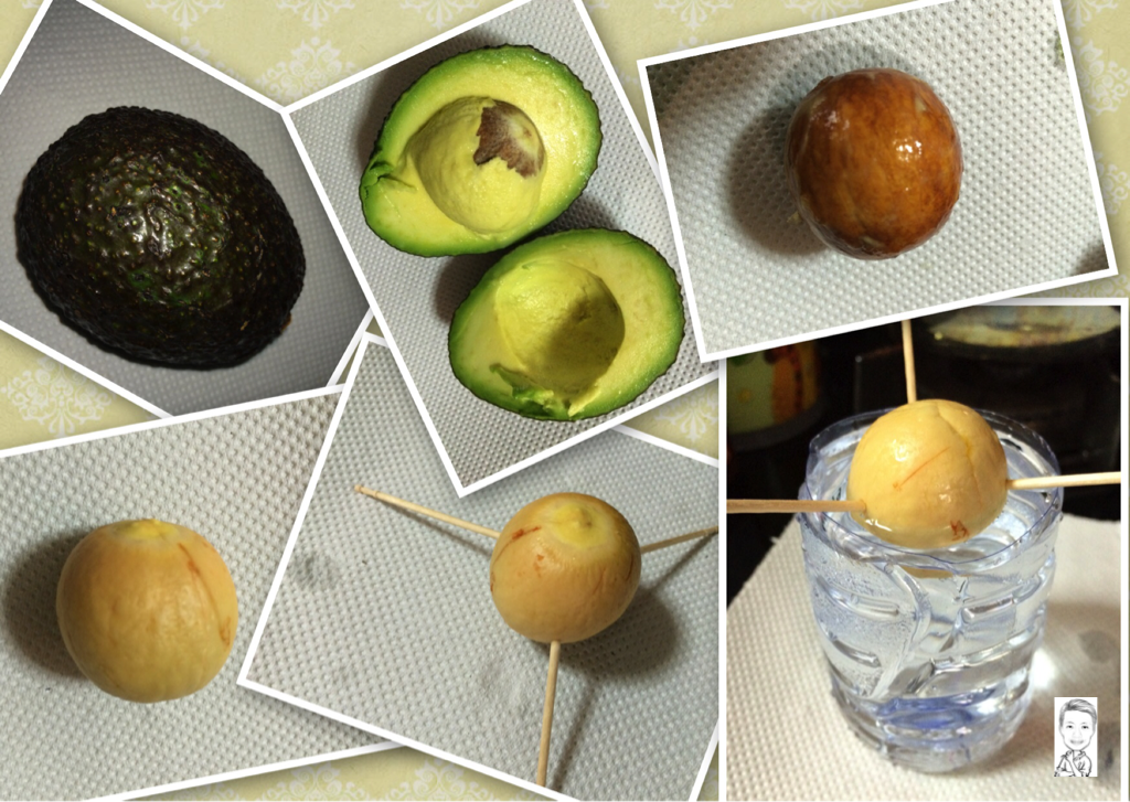 Sg my life is good growing avocado from seed in singapore for How do you grow an avocado seed