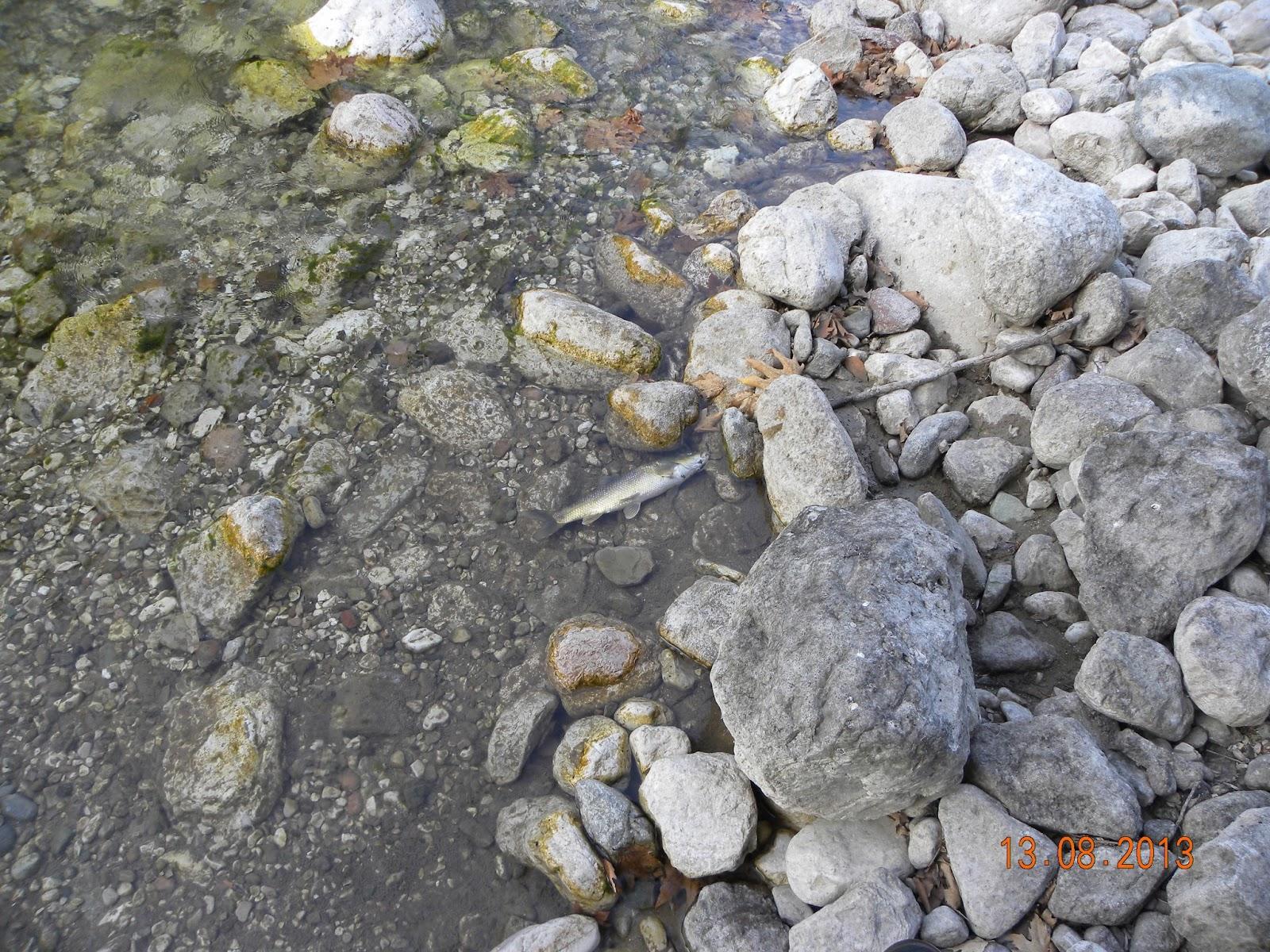 Τζουμερκα:νεκρά ψάρια στον