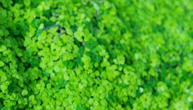 Arbustosensevilla encinarosa plectranthus planta del dinero - Plantas de hojas verdes ...
