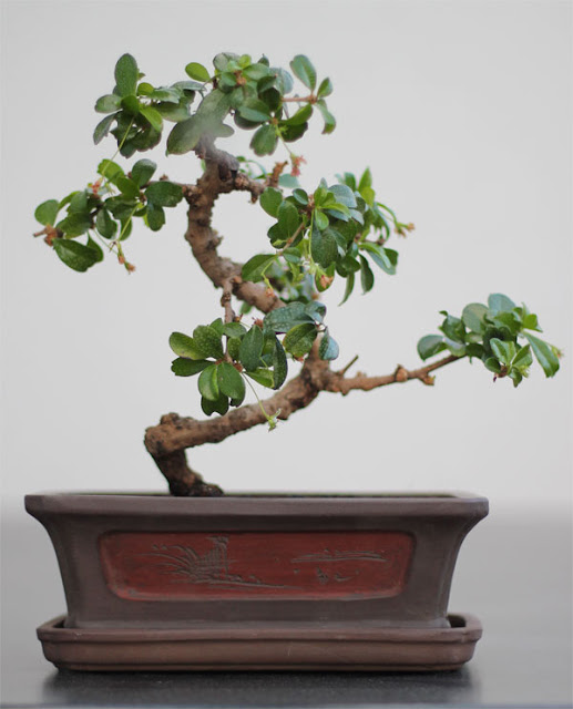 bonsai pflege carmona macrophylla fukientee. Black Bedroom Furniture Sets. Home Design Ideas