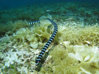 Banded sea snake, one of the things you can see at Exotics house reef