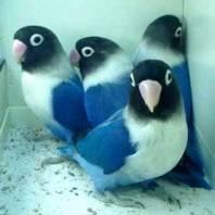 Bisnis Ternak Burung Love Bird Cukup Menjanjikan