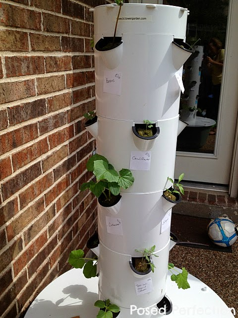 Seedlings in Tower Garden