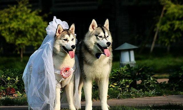 Ideas And Decor Funny Wedding Photos Of Huskies Kingsir