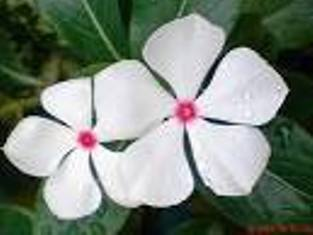merah   Jahe gajah   Jahe emprit: Obat herbal untuk kanker serviks