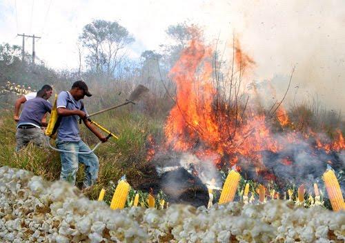 Calor excessivo faz plantação de milho virar pipoca