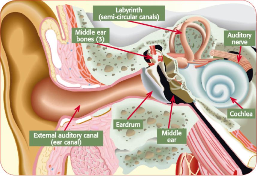 Ear Simple Anatomy Human Anatomy