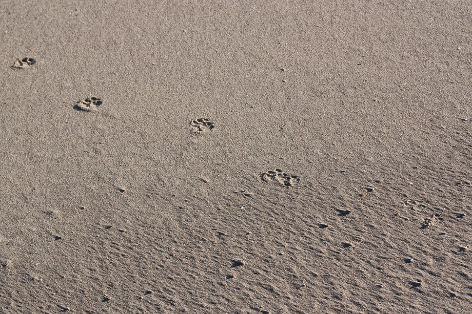 dog's footsteps in sand