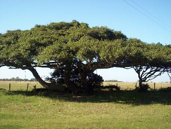Ficus organensi