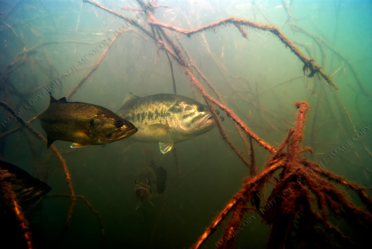 You need to enable Javascript Largemouth Bass Pictures Underwater
