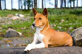 Basenji Puppy Picture