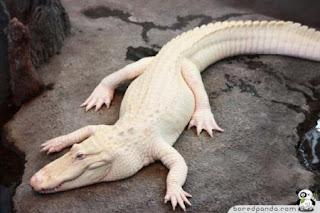 buaya albino