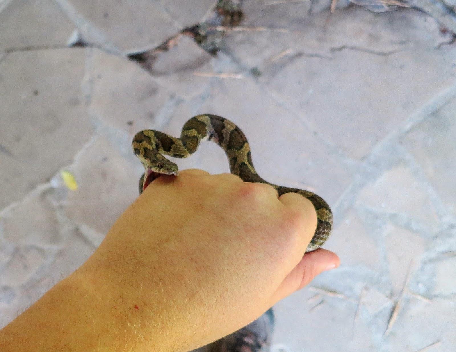 Pueblan Milk Snake Teeth Say eastern milk snakesMilk Snake Teeth