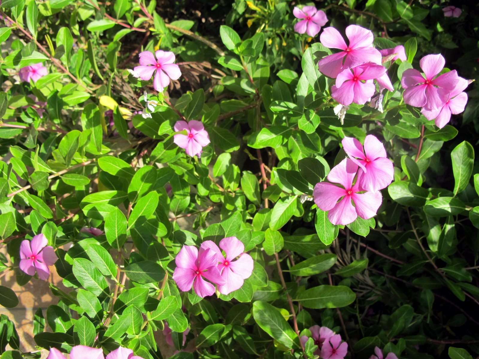 Flora nel salento e anche altrove catharanthus roseus for Pervinca pianta