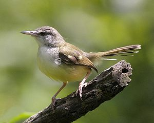Burung ini biasa disebut juga burung ciblek atau cici sawah akan ...