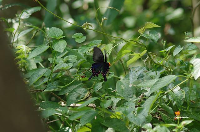 雞南山散步,烏鴉鳳蝶