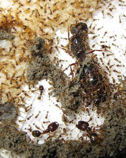 Pheidologeton queen and nest